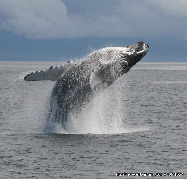 Humpback whale breach in Frederick Sound - Alaska Sea Adventures YachtAlaska