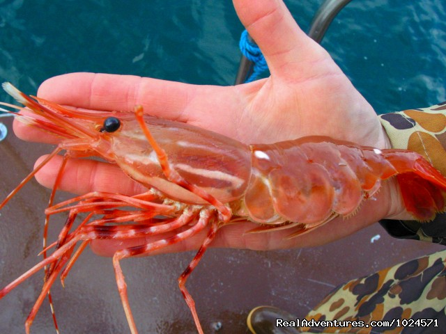 Huge spot prawn catch. (#23 of 24) - Alaska Sea Adventures YachtAlaska