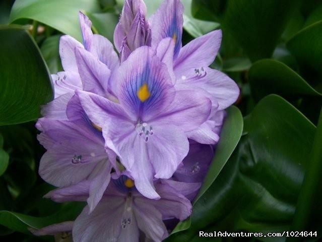 Garden water hyacinths - Hana Maui Botanical Gardens B&B/Vacation Rentals