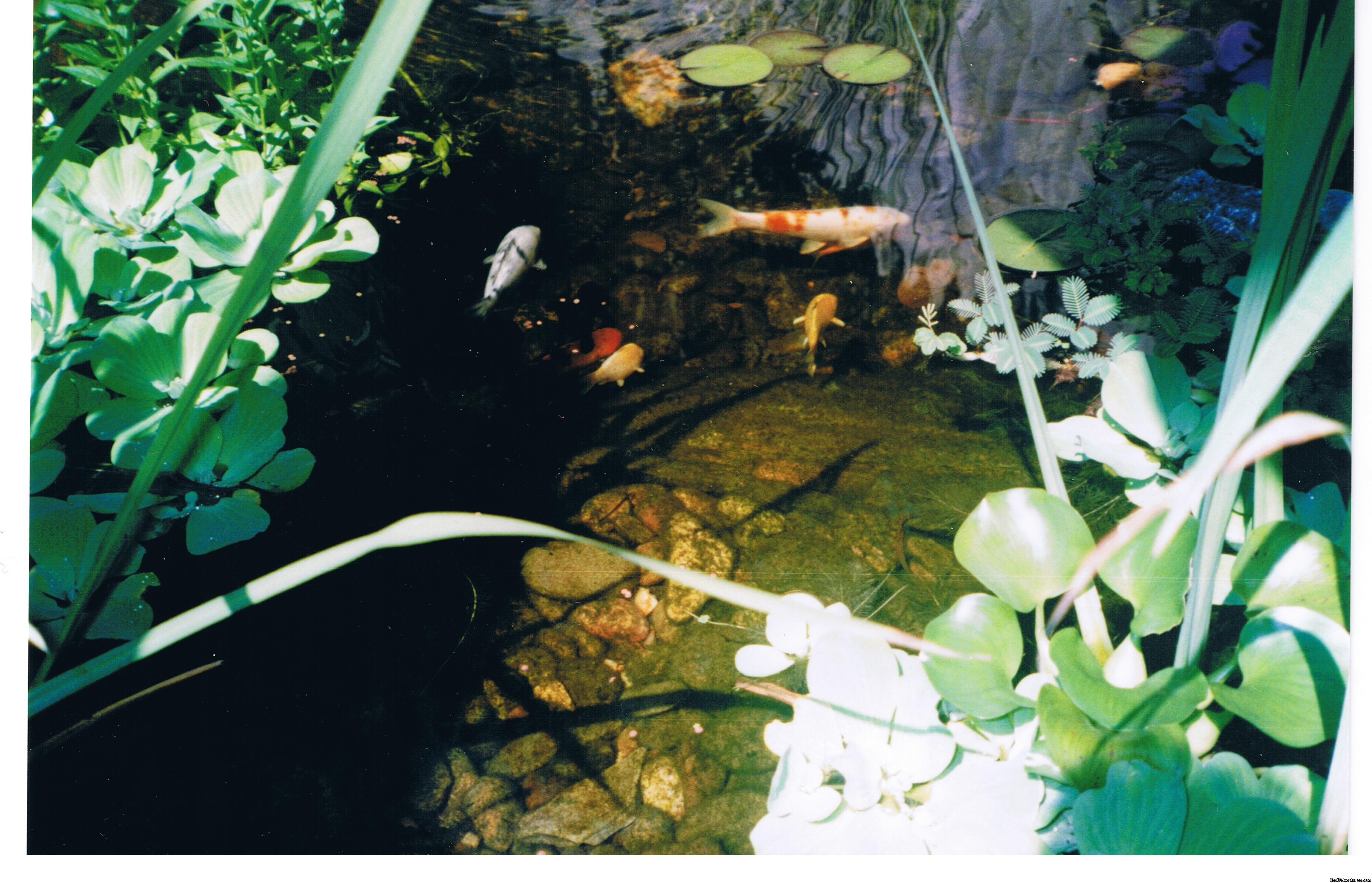 Murray House Koi Pond | Image #9/21 | Murray House Bed & Breakfast: It's a Special Place