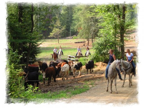 French Broad Outpost Ranch: Driving the Cattle