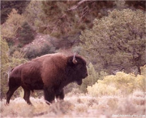 Henry Mt. Free Roaming bison - Horses, Hiking and tours in Utah