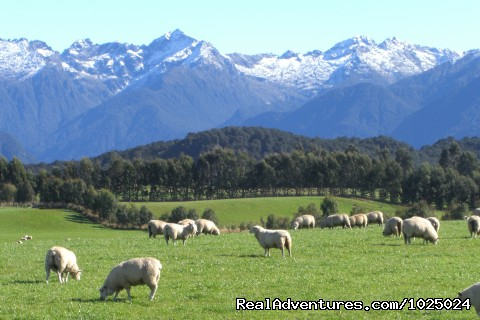 sheep mountains - New Zealand Custom Tours by Tailored Travel