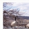 OUR CANADA GEESE
