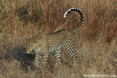 African Wildlife Safaris: cheetah