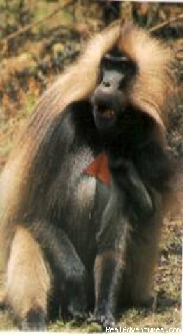 Travel & tour Ethiopia-Axum Lalibela Gondar Tribes: The bleeding heart baboon -only in Ethiopia