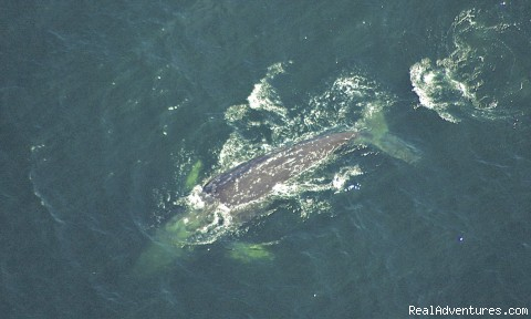 Gray Whale from 500 ft. - A Wild Pacific Bed & Breakfast, Ucluelet