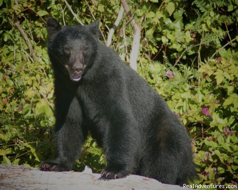 Black Bear at Little Beach, Ucluelet - A Wild Pacific Bed & Breakfast, Ucluelet