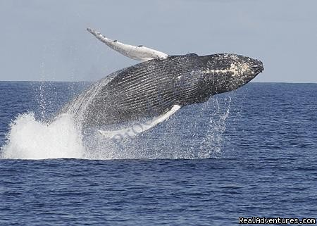 Whale Watching, Swim with Dolphins, Turtle Snorkel: Humpback Whale Breaches Near Boat
