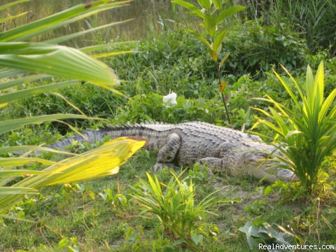 A CROCODILE IN SHUNDARBANS - 100% safe and leading tour operator in Bangladesh.