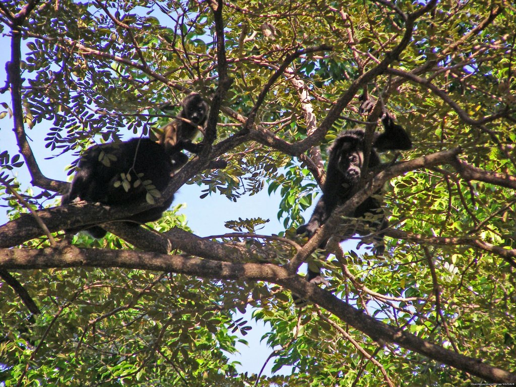 Monkeys in Costa Rica | Image #2/19 | Bill Beard's Costa Rica 2017-18 Vacation Packages