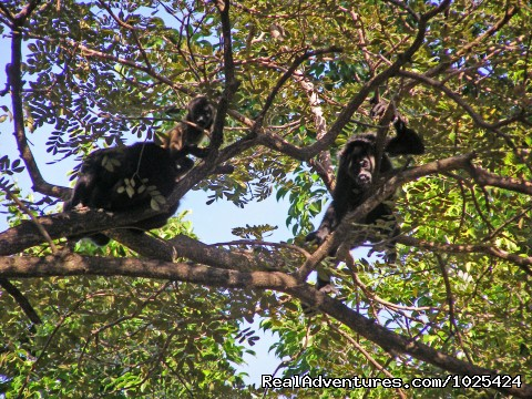 Monkeys in Costa Rica - Bill Beard's Costa Rica 2015 Vacation Packages