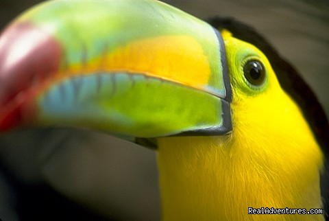 Toucan in Costa Rica (#8 of 26) - Bill Beard's Costa Rica Scuba Diving & Adventure