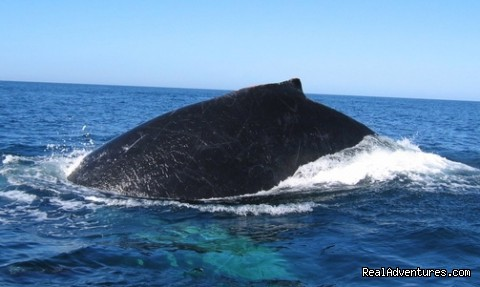 Humpback whale Playa Hermosa Costa Rica - Bill Beard's Costa Rica Scuba Diving & Adventure