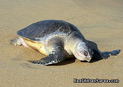 Costa Rica is famous for nesting turtles - Bill Beard's Costa Rica Scuba Diving & Adventure