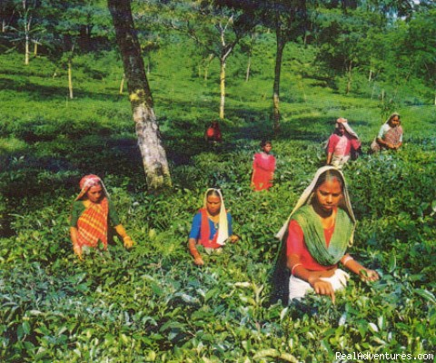 Tea Garden Trip at Bangladesh - Travel Bangladesh