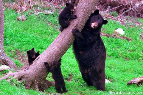 Jane the Bear and her cubs - Blue Ridge Parkway Adventure
