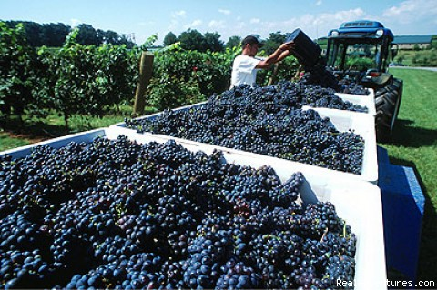 Grape Picking - Yadkin Valley Wine Country Excursion