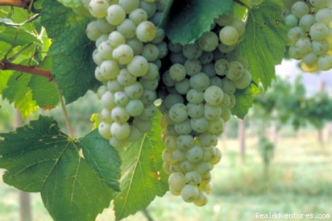 Appalachian Wine Country: Grapes on the Vine