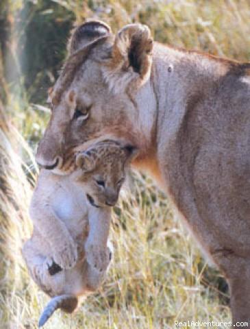 Africa Wildlife Safaris Kenya Tanzania African Servalcat Safaris Kenya-Tanzania