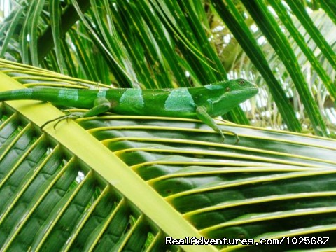 Iguana in natural habitat at Tiliva Resort - Scuba Dive at Tiliva Resort in Kadavu Fiji