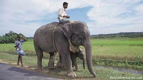 Elephent of bangladesh - Travel Bangladesh