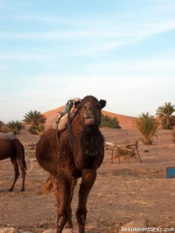 Curious Babe (#10 of 26) - Camel Trip in Merzouga Sahara Desert Morocco