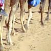Camel Legs.