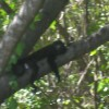 Howler Monkey - many of these on the property