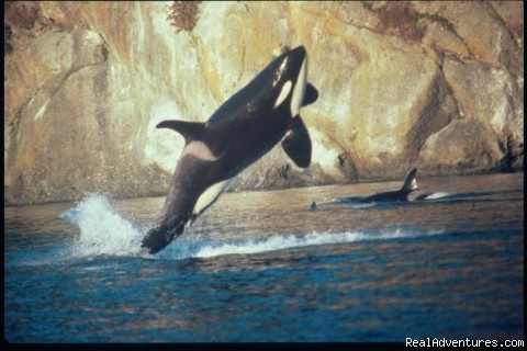 orca whale breach - Eco Tours w/ Western Prince Whale & Wildlife Tours