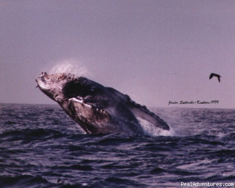 whale breach - Whale Watching - eco tours/ San Francisco Bay Area