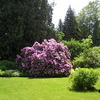 The largest Rhododendron bushes on Vancouver Island