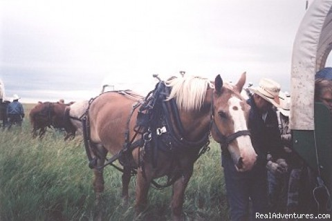 Draft horse resting along side wagon (#5 of 14) - Family Adventure on Genuine Covered Wagon Train