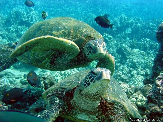 Welcome to Turtle Town! | Image #2/3 | Kayak and Snorkel eco-adventures in Maui