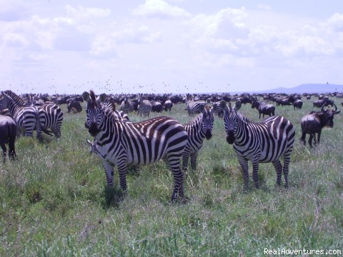 Migration in Serengeti National Park - RA Safaris Tanzania