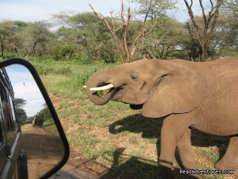An elephant on Safari in Manyara National Park - RA Safaris Tanzania