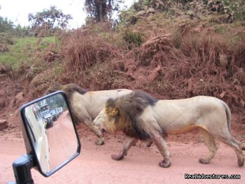 Lions in Ngorongoro - RA Safaris Tanzania