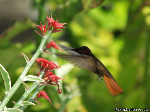 Hummingbird in the garden - Englishman's bay,Parrot estate. Romantic adventure