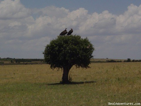 Vultures In the Nature Masai Mara Kenya-yha travel