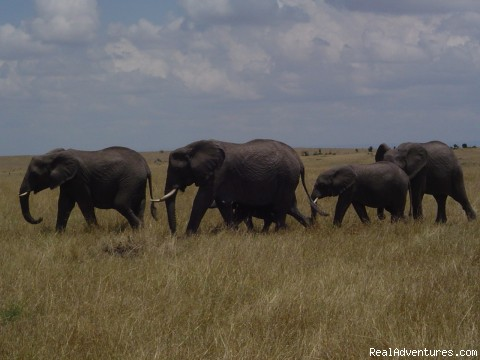 Elephants at a kenyan Game Park - Nairobi International Youth Hostel