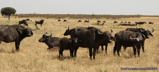 Heard of Buffaloes - YHA Kenya Travel Tours & Safaris