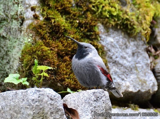 Birding and wildlife tours in Bulgaria: Wallcreeper