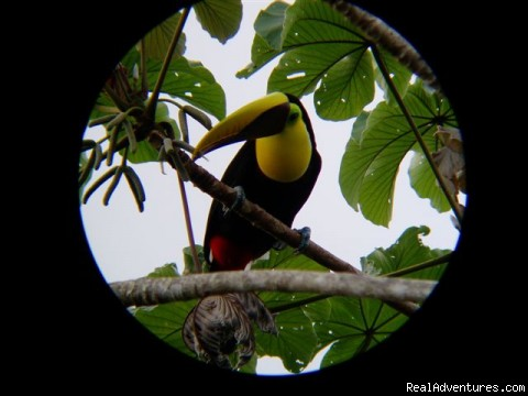 Chestnut-mandibled Toucan - Luxury Rainforest Wildlife Lodge - Osa Peninsula