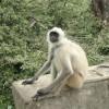 langoor Monkey Rajasthan