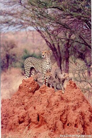 Kenya, Tanzania & Uganda Safaris, Tours & Holidays: Cheetah et bebes