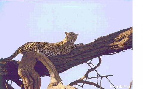 Leopard in Samburu (#2 of 6) - Kenya, Tanzania & Uganda Safaris, Tours & Holidays