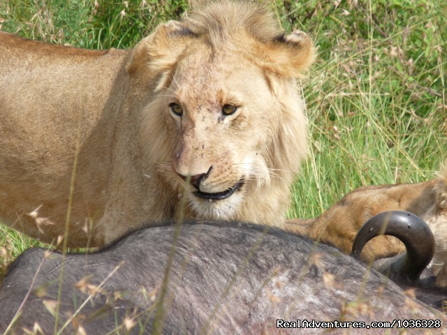 Lion in Game Park - African Home Adventure Safaris
