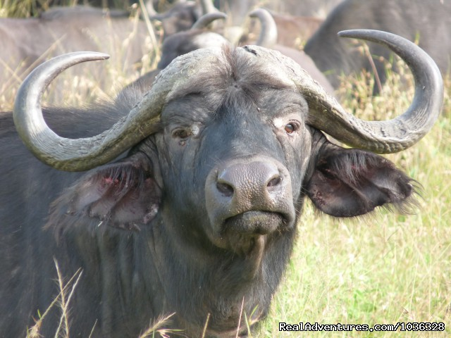 Buffalo - African Home Adventure Safaris