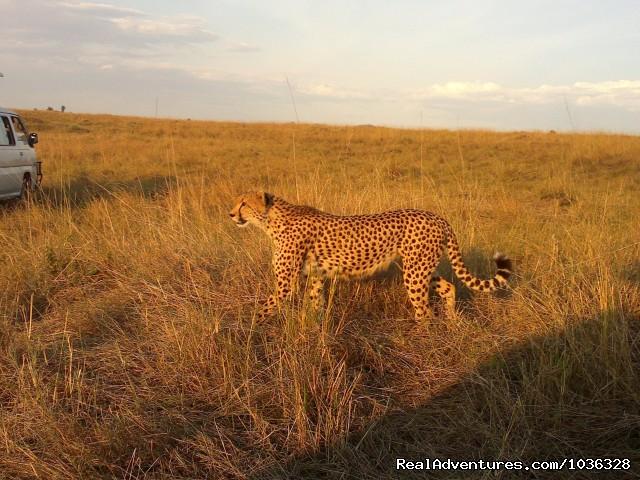Cheetah (#7 of 26) - African Home Adventure Safaris