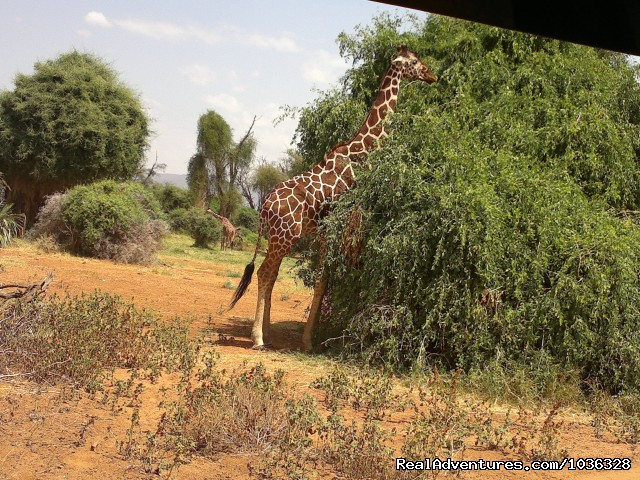 Giraffe - African Home Adventure Safaris